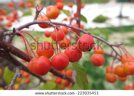 "Crabapple ( Malus x zumi ""Professor Sprenger"") with ripe apples in the autumn garden - stock photo"
