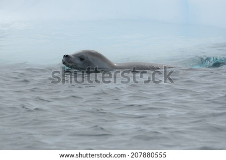 Crabeater seal from floating iceberg - stock photo
