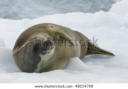 Crabeater Seal loosing the fur at antarctica
