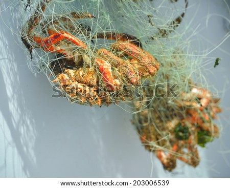 crabs caught in the fishing net - stock photo