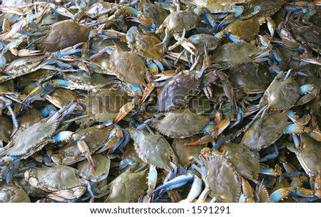Crabs ready to be cooked - stock photo