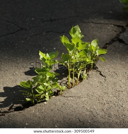 cracked asphalt / plants in the roadway / Still Life  - stock photo