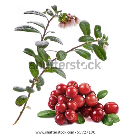 cranberries blossom isolated on white background
