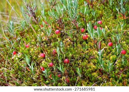 Cranberries growing in the bog. Latvia - stock photo