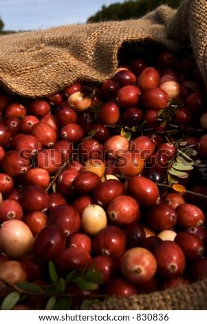 Cranberries in burlap bag - stock photo