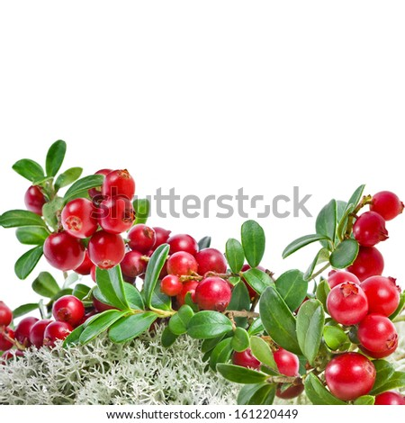 Cranberries in Northern Reindeer Lichen close up isolated on white background  - stock photo