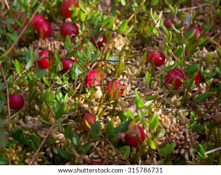 cranberries red berries background nature. Selective focus - stock photo