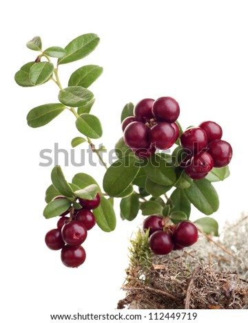 cranberry and moss on white background - stock photo