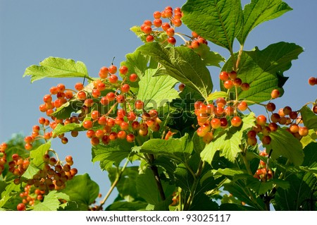 Cranberry bush berry cluster over leaves background - stock photo