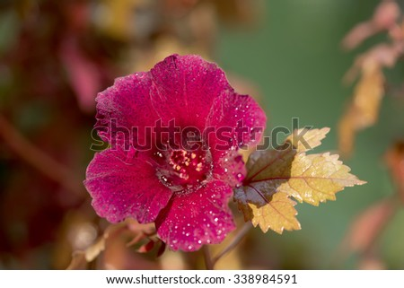 Cranberry hibiscus, African rose mallow, red flowers in the garden.  - stock photo
