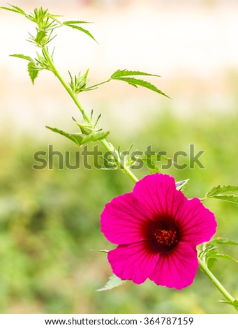 Cranberry hibiscus, purple bloom in a garden with beautiful background blur scenes. - stock photo