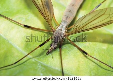 Crane fly sitting on a green leaf - stock photo