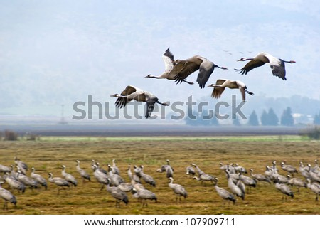 Cranes, flight, valley, Hula, Israel