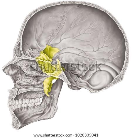 Cranial Cavity Sphenoid Bone Cranium Bones Stock Illustration ...