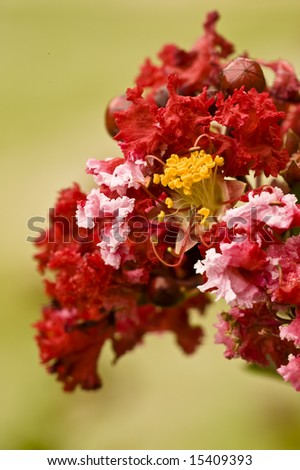 Crape Myrtle - stock photo