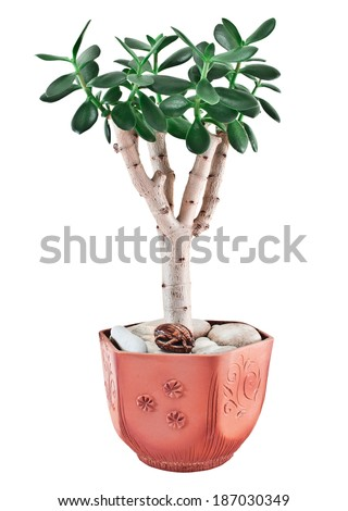 Crassula ovata or jade plant in flower pot. Isolated on white background
