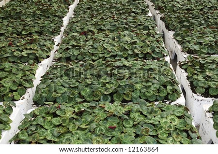 Crate full of cyclamen in a greenhouse