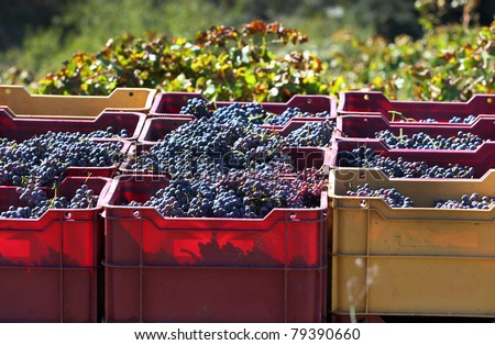 Crates of hand-picked grapes in a vineyard in the Priorat wine region of Catalonia, Spain - stock photo