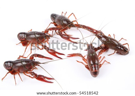 crawfish - stock photo