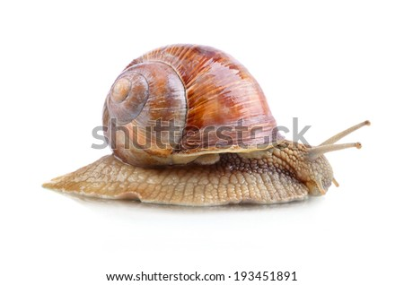 Crawling garden snail on a white background
