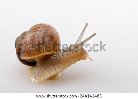 Crawling snail isolated on a white background  - stock photo