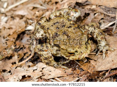 crawling toad on foliage - stock photo