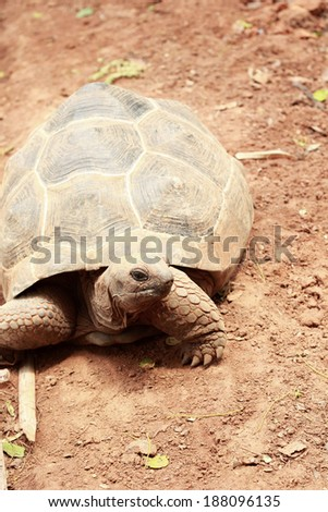 Crawling tortoise in the nature - stock photo