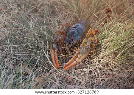 crayfish in the grass, vintage toning - stock photo