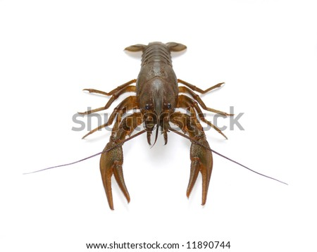 crayfish on white - stock photo