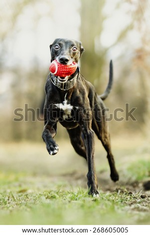 crazy and fun beautiful black young whippet dog puppy running and flying in spring background - stock photo