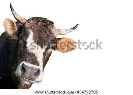 Crazy and funny looking cow from a farm isolated on white background - stock photo