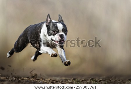 crazy boston terrier dog puppy flying dog trick - stock photo