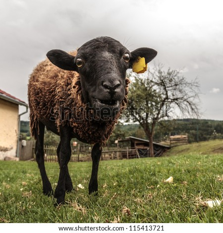 Crazy brown sheep with funny look - stock photo