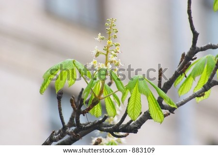 Crazy chestnut - flowering in August - stock photo