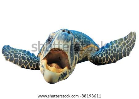 Crazy Sea Turtle isolated on white background - stock photo