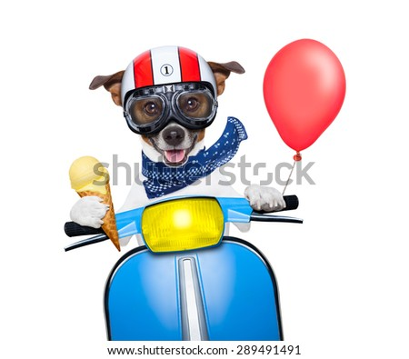 crazy silly motorbike dog with helmet and goggles , holding a waffle of vanilla ice cream cone, isolated on white background - stock photo