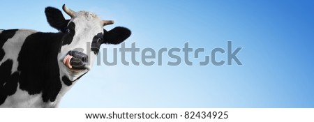 Crazy smiling cow with tongue looking to a camera on blue clear background with a lot of copyspace - stock photo