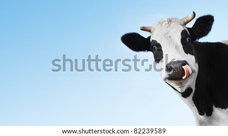 Crazy smiling cow with tongue looking to a camera on blue clear background with copyspace - stock photo