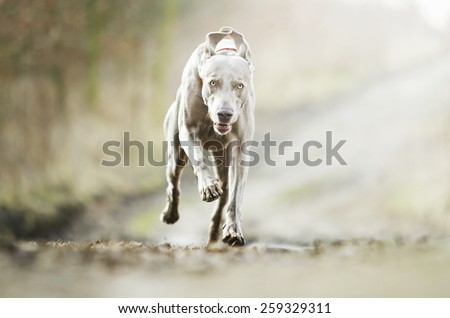 crazy weimaraner dog running in winter background - stock photo