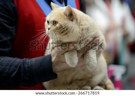 Cream british shorthair cat being held at cat show - stock photo