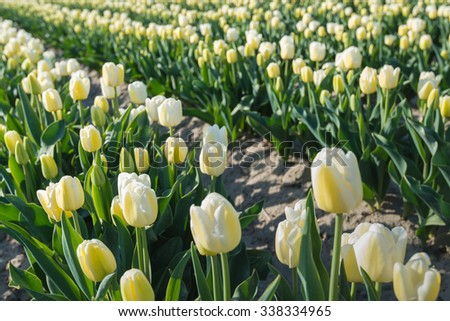 Cream colored blooming tulips in tall plant beds in the field of a Dutch bulb grower on a sunny morning in the spring season. - stock photo