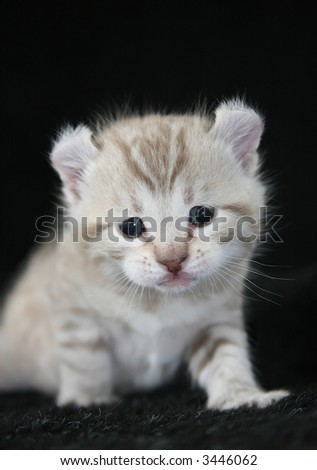 Cream colored curl ear kitten on brown background