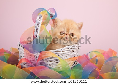 Cream Exotic kitten in lilac basket with tie dye ribbons on lavender background - stock photo