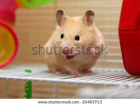 Cream hamster smiles - stock photo
