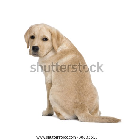 Cream Labrador puppy, 14 weeks old, sitting in front of white background, studio shot - stock photo
