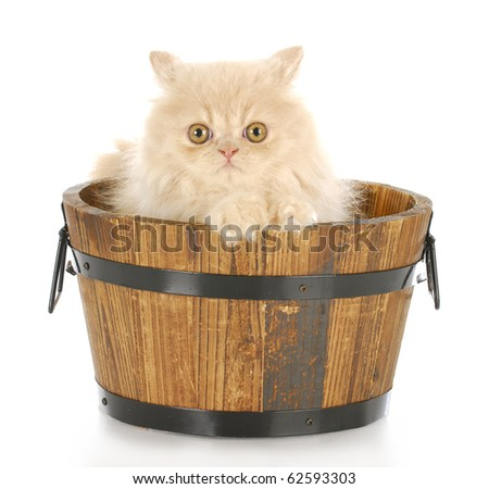 cream persian kitten sitting in wood wash basin looking at viewer with reflection on white background - stock photo