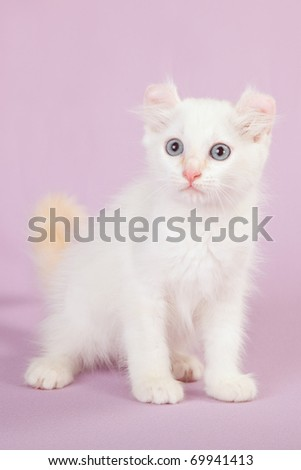 Cream point American Curl kitten on pink lilac background