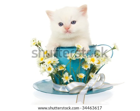 Cream point Ragdoll kitten in large cup and saucer with white flowers and ribbon, on white background - stock photo