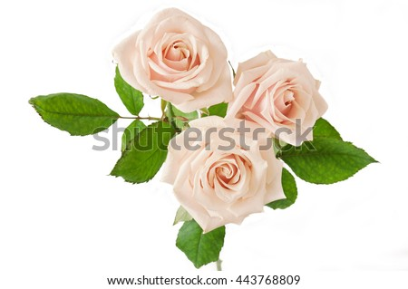 Cream rose flowers bunch isolated on white background. Oink rose bouquet
