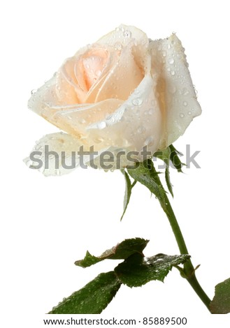 Cream rose with leaves isolated on white - stock photo